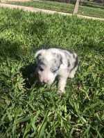 Border Collie Puppies for sale in Fort Worth, TX, USA. price: NA