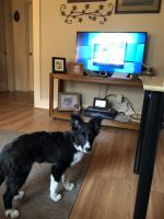 Border Collie Puppies for sale in Fredericksburg, VA 22401, USA. price: NA