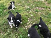 Border Collie Puppies for sale in Abbeville, SC 29620, USA. price: NA