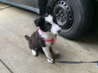 Border Collie Puppies for sale in Pittsburgh, PA 15229, USA. price: NA