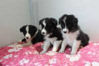 Border Collie Puppies for sale in Texarkana, TX, USA. price: NA