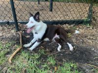 Border Collie Puppies for sale in Tampa, FL, USA. price: NA