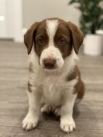 Border Collie Puppies for sale in West Jordan, UT, USA. price: NA