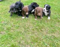 Border Collie Puppies for sale in New York, NY, USA. price: NA