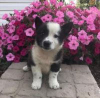 Border Collie Puppies for sale in Painesville, OH 44077, USA. price: NA