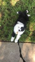 Border Collie Puppies for sale in San Jose, CA, USA. price: NA