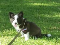 Border Collie Puppies for sale in San Pedro, CA 90731, USA. price: NA
