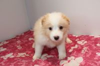Border Collie Puppies for sale in California City, CA, USA. price: NA