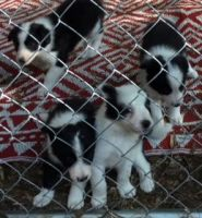 Border Collie Puppies for sale in Newberry, FL, USA. price: NA