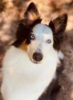 Border Collie Puppies for sale in Aiken, SC, USA. price: NA