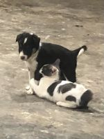 Border Collie Puppies for sale in Vilonia, AR 72173, USA. price: NA