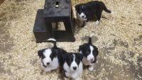 Border Collie Puppies for sale in Luverne, MN 56156, USA. price: NA