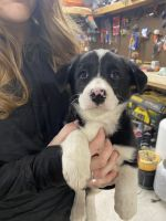 Border Collie Puppies for sale in Rolling Hills, WY 82637, USA. price: NA