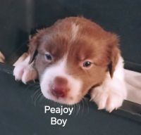 Border Collie Puppies for sale in Bay Point, CA, USA. price: NA