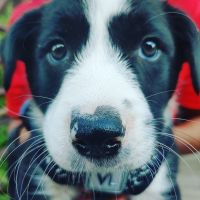 Border Collie Puppies for sale in Plantation, FL, USA. price: NA