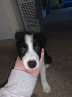 Border Collie Puppies for sale in Toledo, OH, USA. price: NA