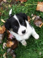 Border Collie Puppies for sale in Saginaw, MI, USA. price: NA