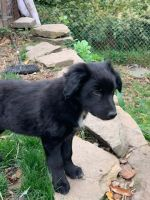 Border Collie Puppies for sale in Turtle Creek, PA, USA. price: NA