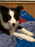 Border Collie Puppies for sale in Gadsden, AL, USA. price: NA