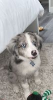 Border Collie Puppies for sale in Tustin, CA 92780, USA. price: NA
