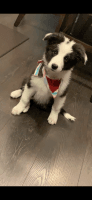 Border Collie Puppies for sale in Utah County, UT, USA. price: NA
