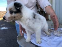 Border Collie Puppies for sale in Dos Palos, CA 93620, USA. price: NA