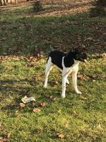 Border Collie Puppies for sale in Akron, OH, USA. price: NA