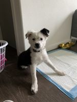 Border Collie Puppies for sale in Tigard, OR 97223, USA. price: NA