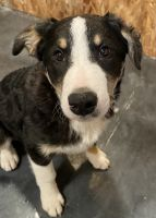 Border Collie Puppies for sale in Roberts, ID 83444, USA. price: NA