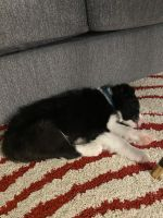 Border Collie Puppies for sale in Agua Dulce, CA 91350, USA. price: NA