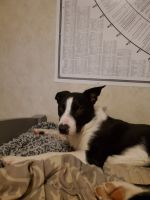 Border Collie Puppies for sale in Conway, MO 65632, USA. price: NA