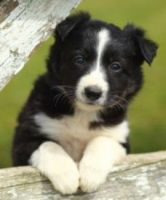 Border Collie Puppies for sale in High Point, NC, USA. price: NA