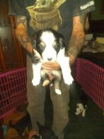 Border Collie Puppies for sale in Tell City, IN, USA. price: NA