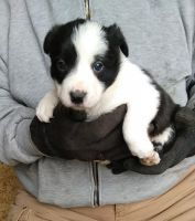 Border Collie Puppies for sale in Alliance, OH 44601, USA. price: NA