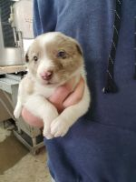 Border Collie Puppies for sale in Reidsville, NC 27320, USA. price: NA