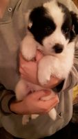 Border Collie Puppies for sale in Bad Axe, MI 48413, USA. price: NA