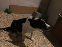 Border Collie Puppies for sale in 5693 W 75th Ave, Arvada, CO 80003, USA. price: NA