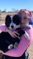 Border Collie Puppies for sale in Colorado Springs, CO, USA. price: NA