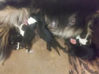Border Collie Puppies for sale in Fresno, CA, USA. price: NA