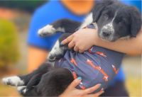 Border Collie Puppies for sale in 434 Trudy Rd, Harrisburg, PA 17109, USA. price: NA