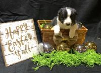 Border Collie Puppies for sale in Zearing, IA 50278, USA. price: NA
