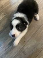 Border Collie Puppies for sale in Vancouver, WA 98662, USA. price: NA