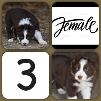 Border Collie Puppies for sale in Manchester, MI 48158, USA. price: NA