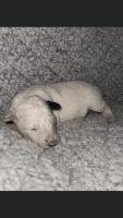 Border Collie Puppies Photos