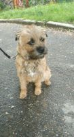 Border Terrier Puppies for sale in Hollywood, Los Angeles, CA, USA. price: NA