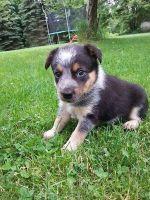 Border Terrier Puppies Photos