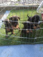 Border Terrier Puppies for sale in Atlanta, GA, USA. price: NA