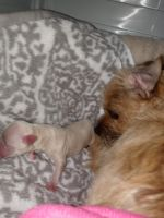 Border Terrier Puppies for sale in Los Angeles, CA, USA. price: NA