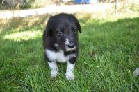 Bordoodle Puppies Photos