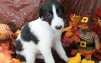 Borzoi Puppies for sale in Colorado Springs, CO, USA. price: NA